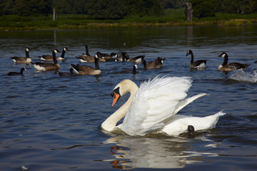 White swan and a flock of canada goose