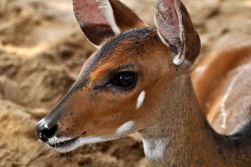 Portrait einer Antilope