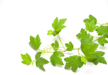Fresh green blackcurrant branch isolated on white background