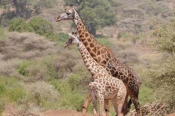 Giraffenduo
