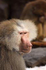 Male baboon looking at you