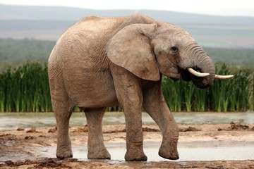 African Elephant Drinking Water