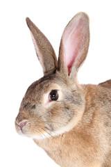 rabbit , isolated.