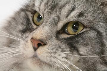 très gros plan des yeux verts d'un chat des forêts norvégiennes