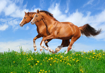 Wall Mural - Two stallions gallop in field