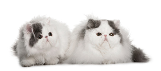 two white and grey Persians sitting, looking away