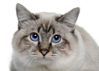 close up of a Birman, looking up