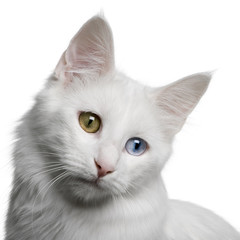 close up of a Turkish Angora (18 months old), looking down