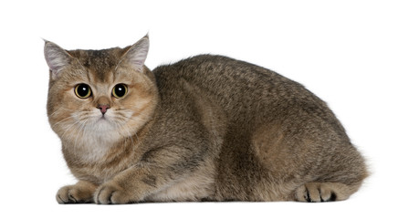 Side view of British Shorthair lying down and looking the camera