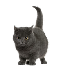 Front view of Chartreux (8 months old), standing