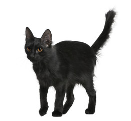Side view of Black Turkish Angora, standing and looking away