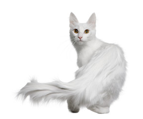 Rear view of Turkish Angora, standing and looking the camera