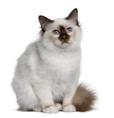 Front view of British Shorthair kitten, sitting and looking up