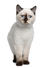 Front view of British Shorthair kitten (4 months old), standing