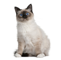 Front view of Birman (6 months old), sitting
