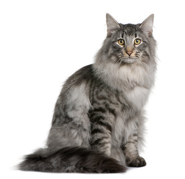 Front view of a Siberian, sitting and looking the camera
