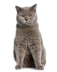 Front view of british shorthair (10 months old), sitting