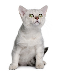 Front view of Asian kitten, sitting and looking up
