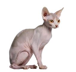 Profile of Sphynx kitten (5 months old), sitting