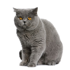 Side view of british shorthair (15 months old), sitting