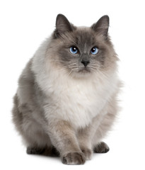 Front view of Ragdoll (1 year old), sitting and looking away