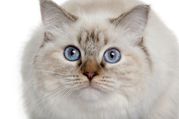 close up of a Ragdoll (10 months old), looking up
