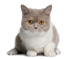 Front view of british shorthair kitten, lying down