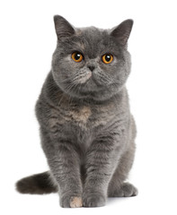 Front view of british shorthair (15 months old), sitting