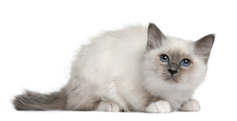 Birman kitten (3 months old), lying down and looking up