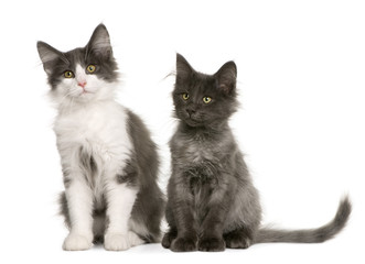 two Norwegian Forest Cat kitten (4 months old), standing