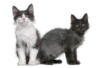 two Norwegian Forest Cat kitten, sitting and standing