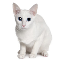 Front view of Oriental Shorthair (11 months old) sitting