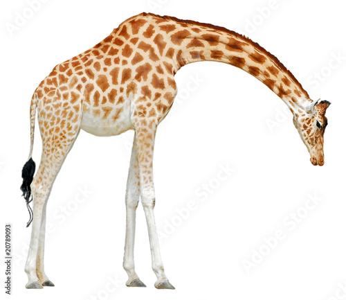 D tourage d 39 une girafe baissant la t te photo libre de for Prix d une girafe a poncer