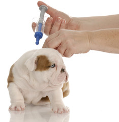 dog getting vaccinated