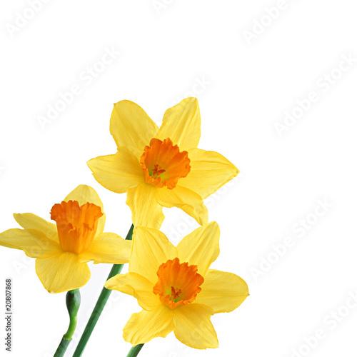Narciso giallo immagini e fotografie royalty free su for Narciso giallo