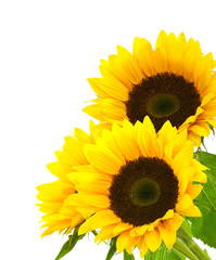 sunflower background image isolated on white