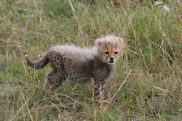 Cheetah cub searching mother in the gras