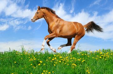 Fotoväggar - Stallion gallops in field