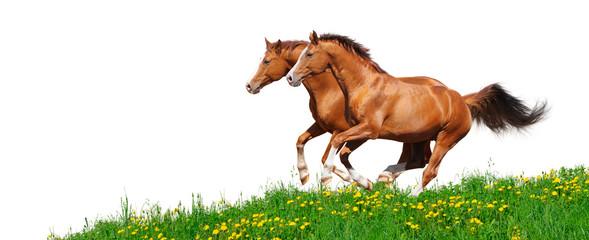 Fotoväggar - Trakehner stallions gallop in field