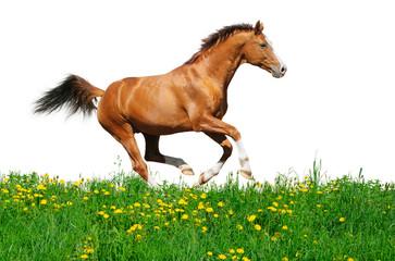 Fotoväggar - Trakehner stallion gallops in field