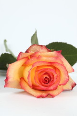 liegende Rose