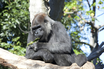 Beautiful Gorilla