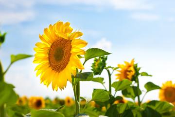 Sunward Sunflower