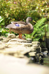 Duck Standing On Stone Wall