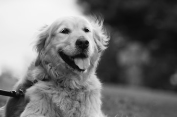 Beautiful, Black and White Golden Retriever Portrait