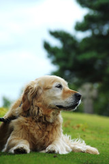 Beautiful, Old Female, Golden Retriever Portrait