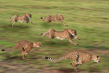 Cheetah five