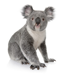 Side view of Young koala, Phascolarctos cinereus, sitting
