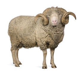 Side view of Arles Merino sheep, ram, 5 years old, standing