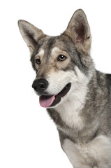 Close-up of Saarlooswolf dog panting
